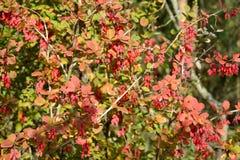 Bush av en vanlig Berberis vulgaris L för barberry med bär arkivbilder