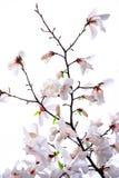 Bush av en vit magnolia Royaltyfria Bilder