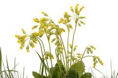 Bush av gula blommor Arkivbild