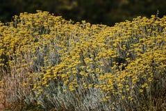 Bush av gula blommor Arkivbilder