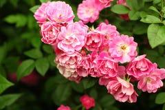 Bush av härliga rosa rosor Fotografering för Bildbyråer