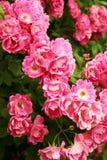 Bush av härliga rosa rosor Arkivfoto
