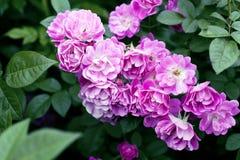 Bush av härliga rosor Royaltyfri Foto