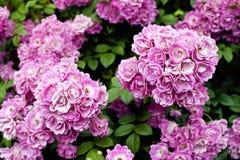 Bush av härliga rosor Royaltyfria Bilder