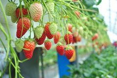 Bush av jordgubbar Fotografering för Bildbyråer