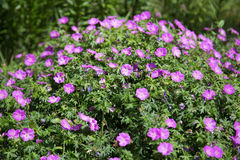 Bush av karmosinröda blommor Arkivbild