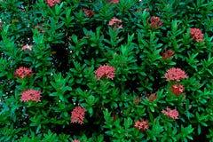 Bush av röda ixoras Royaltyfri Fotografi