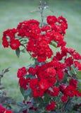 Bush av röda rosor. Arkivbild