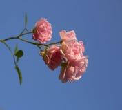 Bush av röda rosor Royaltyfria Foton