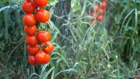Bush av röda tomater under regnstrålar som hänger på en filial i trädgård eller på fält bland grön vegetation lager videofilmer