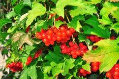 Bush av röda viburnumbär Arkivfoto