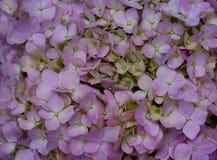Bush av rosa vanlig hortensiablommor royaltyfria foton