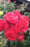 Bush av rosor fotografering för bildbyråer