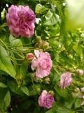 Bush av violetta rosa rosor Arkivfoto