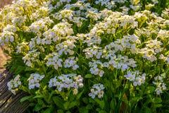 Bush av vita aubretiablommor i closeup, gemensamma trädgårdväxter av Europa, botanisk bakgrund royaltyfria foton