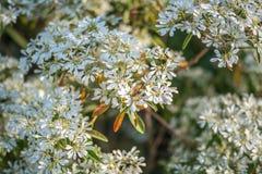 Bush av vita blommor Arkivfoton