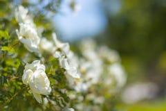 Bush av vita rosor på en bakgrund av blå himmel Blom- bakgrund med utrymme för text vita härliga ro Fotografering för Bildbyråer