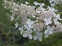 Bush avec des bourgeon floraux blancs images libres de droits