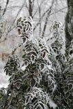 Bush avec des feuilles de vert couvertes de gel en parc de récréation dans les gels graves Images stock