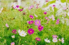 Bush avec des fleurs des fleurs blanches et roses image libre de droits