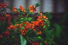 Bush avec le coing japonais de fleurs, fleurs rouges Photos libres de droits