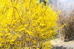 Bush avec les feuilles jaunes images stock