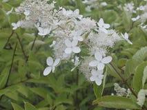 Bush avec les fleurs blanches images stock