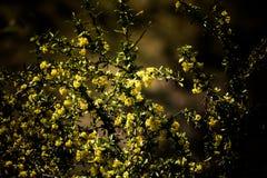 Bush avec les fleurs jaunes Profondeur de zone teinté Image libre de droits