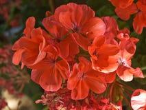 Bush avec les fleurs rouges image libre de droits
