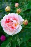 Bush avec les roses roses sensibles sur le fond de la nature Images libres de droits