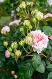 Bush avec les roses roses sensibles sur le fond de la nature Photographie stock