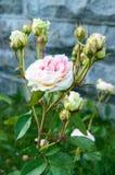 Bush avec les roses roses sensibles sur le fond de la nature Photo libre de droits