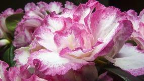 Bush-Azaleen mit Blumen in den weißen und rosa Farben Stockfoto