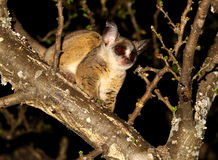 Bush Baby Stock Photo