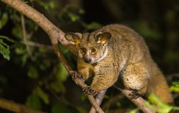 Bush baby. Are nocturnal animals that only come out in the evening feeding on insects stock photo