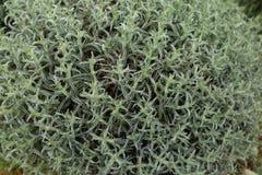 Bush backround. Abstract close up of a Mediterranean bush Stock Photos