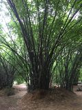 Bamboo growth in the park royalty free stock image