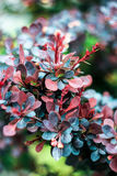 Bush barberry with blue, burgundy and red leaves Stock Photos