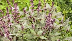 Bush-basilicum het purpere groeien in de tuin stock footage