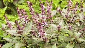 Bush basilu purpurowy dorośnięcie w ogródzie zbiory
