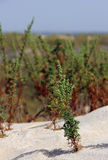 Bush on the beach of La Antilla. Closeup of bush growing on a dune a few meters from the sea on the beach of La Antilla Lepe Huelva (Spain Royalty Free Stock Image