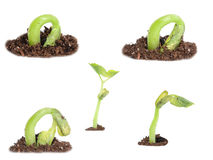Bush Bean Sprouting Stock Image