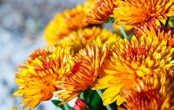 Orange autumn chrysanthemums bush Stock Photography