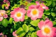 Bush of beautiful pink dog-roses in a garden Stock Photos