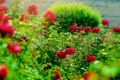 Rose garden. Blooming in the garden rose. Bush of beautiful pink roses in a garden Stock Image