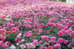 Bush of beautiful pink roses Royalty Free Stock Photos