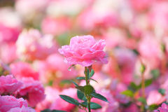 Bush of beautiful pink roses Royalty Free Stock Photography