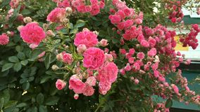 Bush of beautiful pink roses sways in the wind in yard on flower bed. Close-up. Outdoors stock video