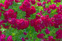 Bush of beautiful red park roses Royalty Free Stock Photography