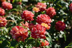 Bush of beautiful roses... royalty free stock photography